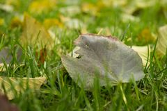 Green autumnal lawn with the fallen yellow leaves. In the park. Good autumnal mood stock photography