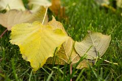 Green autumnal lawn with the fallen yellow leaves. In the park. Good autumnal mood stock photo