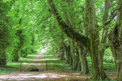 Green avenue with old trees Royalty Free Stock Images