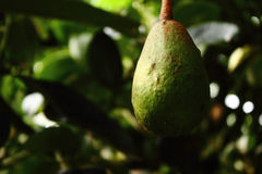 Green avocado in the tree Royalty Free Stock Photo