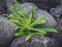 Green azorean plant Stock Image