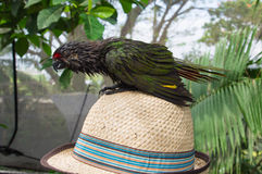 Green baby bird of a parrot sitting on a straw hat Royalty Free Stock Photography
