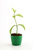 Green baby plant Royalty Free Stock Photo