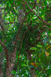 Green Baccaurea ramiflora. Fruit on tree,Thailand Royalty Free Stock Images