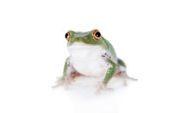 Green back flying tree frog  on white Stock Photo