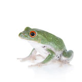 Green back flying tree frog  on white Stock Image