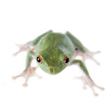 Green back flying tree frog  on white Royalty Free Stock Image