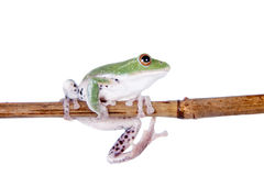 Green back flying tree frog  on white Stock Photos