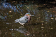 Green Back Heron Royalty Free Stock Photography