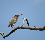 Green Back Heron Royalty Free Stock Photo