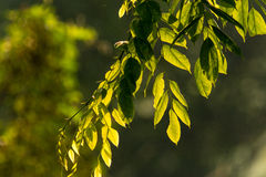Green Back-Lighted Foliage. Leaf hanging from branch with direct back-light from the morning sun Stock Photo