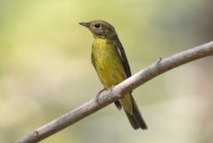 Green-backed Flycatcher Ficedula elisae Beautiful Female Birds of Thailand. Green-backed Flycatcher Ficedula elisae Beautiful Female Bird of Thailand Stock Images