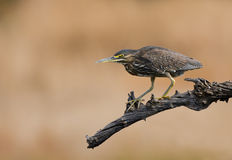 Green backed heron Stock Image