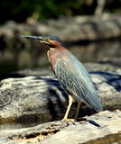 Green-backed Heron Royalty Free Stock Photo