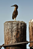 Green-backed Heron. A Green-backed Heron perched on a weathered pier piling on the Chesapeake Bay in St. Michaels, Maryland Royalty Free Stock Photo