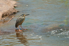 Green-backed heron. Small common resident heron. Upperparts appear grey-green. Black cap. Yellow feet. Singly or in pairs at large stretches of water. Feeds on Royalty Free Stock Images