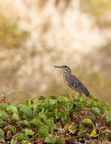 Green-backed Heron Stock Images