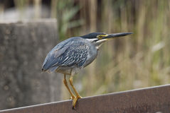 Green backed heron Royalty Free Stock Photos
