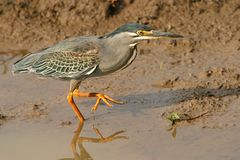 Green-backed heron. (Butorides striatus), hunting, South Africa royalty free stock photo