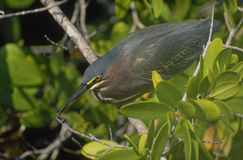 Green-backed heron Stock Photo