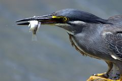 Green-Backed Heron. Fishing in the Shingwedzi River, Kruger National Park, South Africa Stock Photography