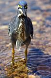 Green-Backed Heron. Fishing in the Shingwedzi River, Kruger National Park, South Africa Royalty Free Stock Image