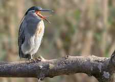 Green Backed Heron Royalty Free Stock Images