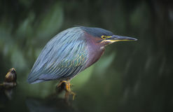Green Backed Heron bird Stock Photo