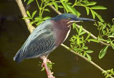 Green Backed Heron on branch. Green-backed Heron on a branch at the St. Augustine Alligator farm, St. Augustine, FL on March 20, 2006 Stock Photography