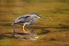 Green-backed Heron (Butorides striata) stock photography