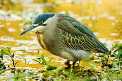 Green-backed Heron (Butorides striata) (0297) Stock Photography