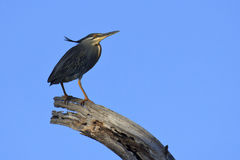 Green-backed Heron - Butorides striata Stock Image