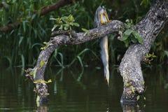 Green-backed Heron - Butorides striata Stock Image