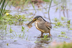 Green backed heron carefully hunting fish in shallow water Royalty Free Stock Image