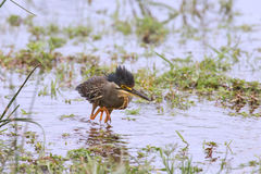 Green backed heron carefully hunting fish in shallow water Royalty Free Stock Photos