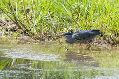 Green backed heron carefully hunting fish in shallow water Stock Image