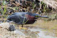Green backed Heron Royalty Free Stock Image