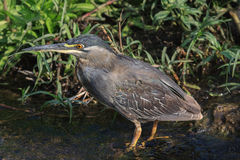 Green-backed heron. From a distance, the Green Heron is a dark, stocky bird hunched on slender yellow legs at the water's edge, often hidden behind a tangle of Royalty Free Stock Images