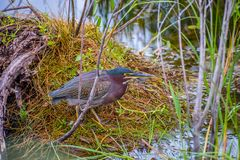 A Green-backed Heron in Everglades National Park, Florida royalty free stock image