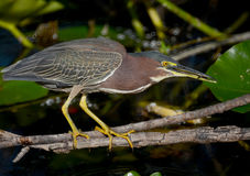 Green Backed Heron Fishing Stock Photos