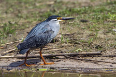 Green-backed heron in Kruger National park, South Africa Royalty Free Stock Images
