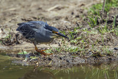 Green-backed heron in Kruger National park, South Africa Stock Photos