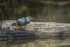 Green-backed heron in Kruger National park, South Africa Stock Image