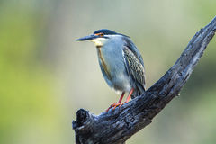 Green-backed heron in Kruger National park, South Africa Stock Photo