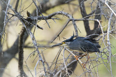 Green-backed heron in Kruger National park Stock Photo