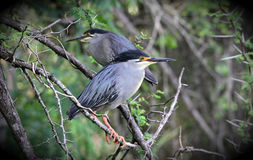 Green Backed Heron Stock Photography