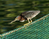 Green-backed heron perched on a fence Royalty Free Stock Photos
