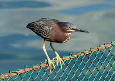 Green-backed heron perched on a fence Royalty Free Stock Image