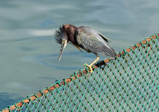 Green-backed Heron Perched On A Fence Stock Photo