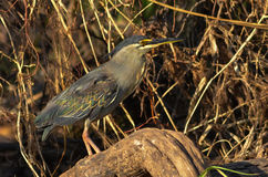 Green-backed Heron Stock Photos